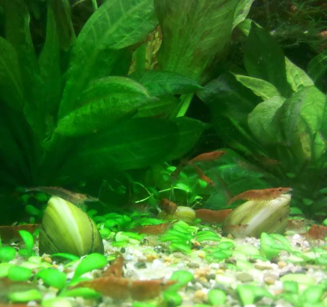 Muscheln – Der natürliche Filter für Ihr Aquarium