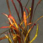 Aponogeton crispus