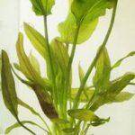Echinodorus Rosé