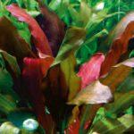 Echinodorus x barthii