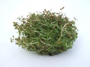 Ludwigia palustris Wurzelpads