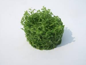 Micranthemum Monte Carlo Wurzelpads