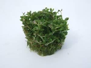 Rotala rotundifolia Wurzelpads