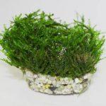 Taxiphyllum sp. 'Spiky'
